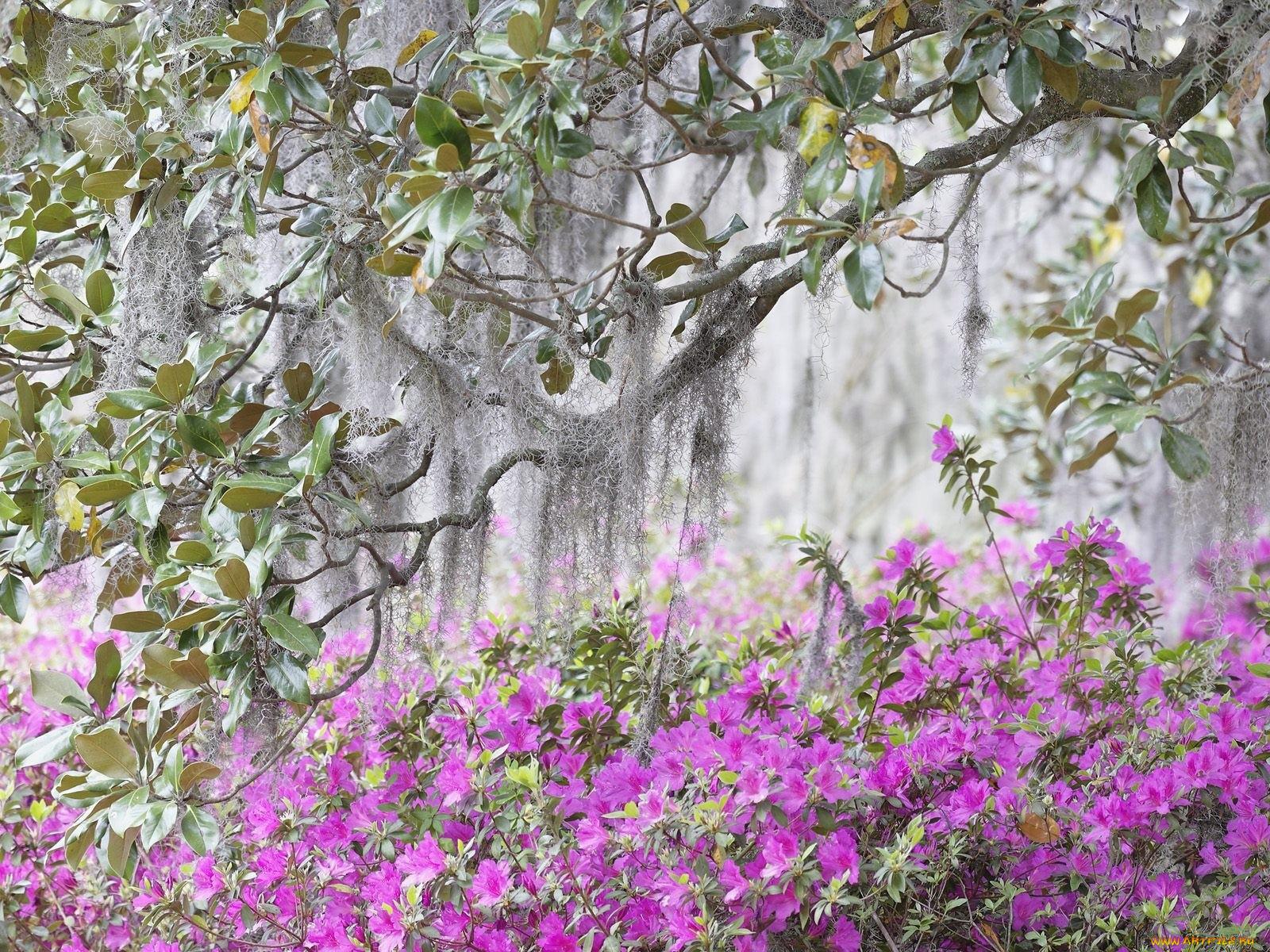 Цветущая азалия, природа 1600х1200 - Обои для рабочего стола.  Wallpapers.